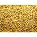 Willsbridge Panicum Millet Seed