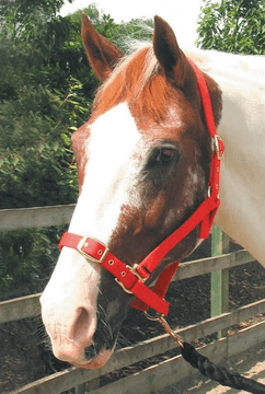 Roma Adjustable Headcollars