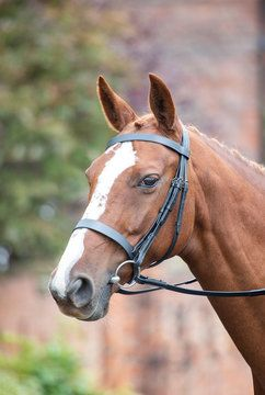 Shires Avignon Oak Hunter Cavesson Bridle