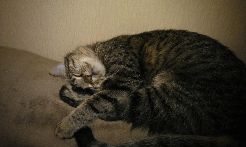 European Shorthair Facts And Information Viovet