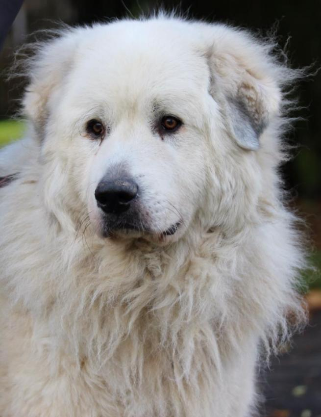 Pyrenean Mountain 🐶 Dog - Facts and Information - VioVet